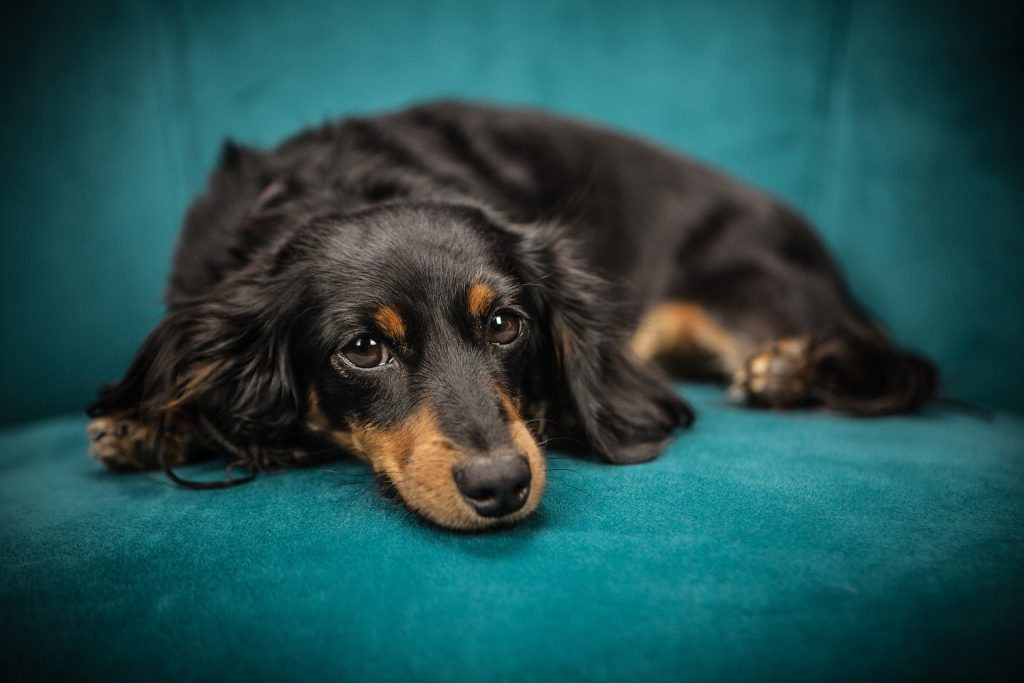 Image by Stocksnap of a black and tan dog lying on a blue sofa for What's On in Birmingham.